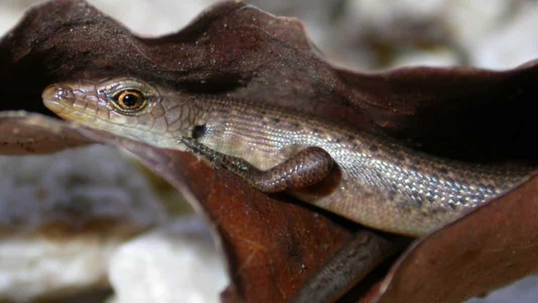13 more species in Australia confirmed Extinct, including reptile