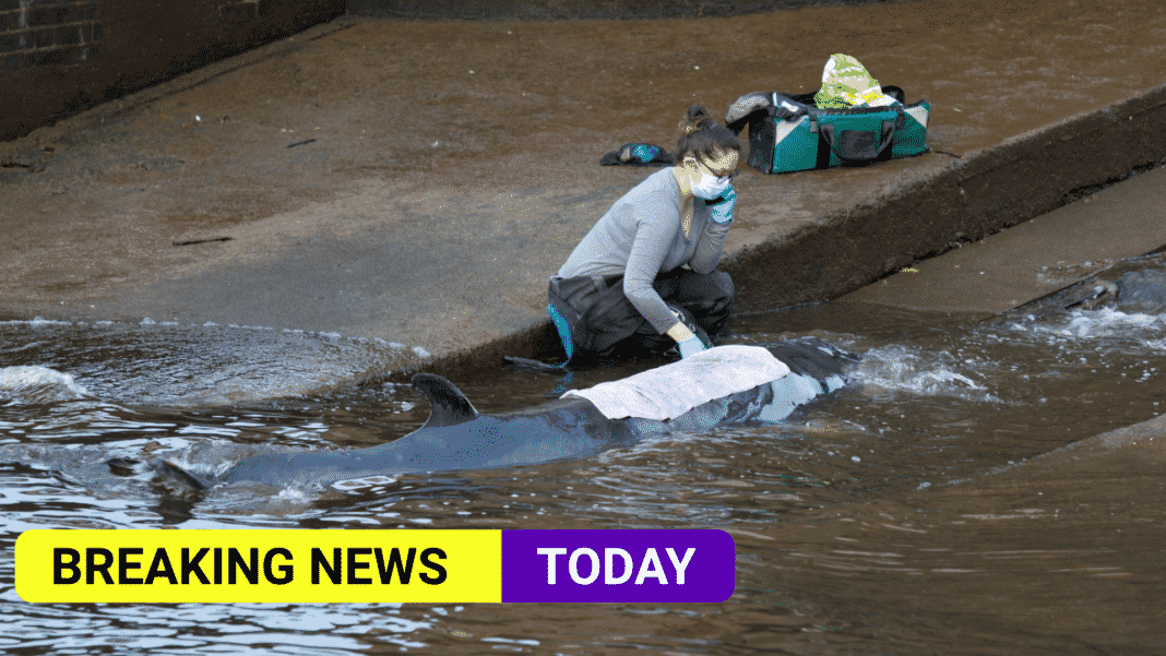 Rescuers free stranded minke whale in River Thames at Richmond